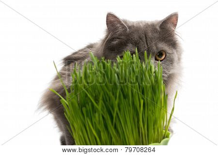 Persian Kitten And A Pot Of Green Grass