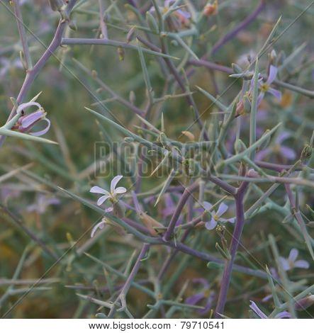 Zilla Spinosa blossom