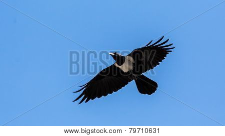 Crow In Mid Flight