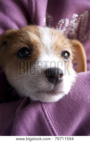 A Puppy Of Jack Russel
