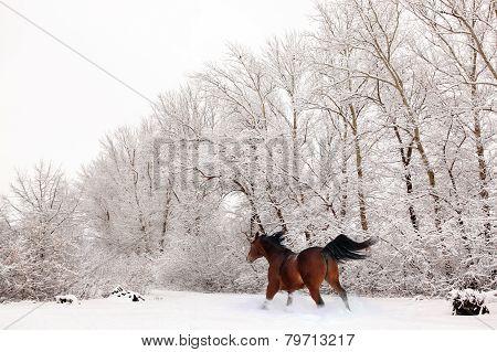 Galloping trakehner horse under a snowfall