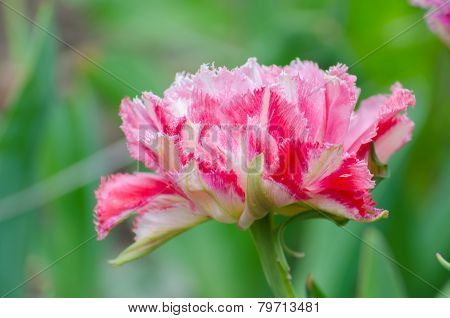 Blossom of the pink peony tulip in the spring