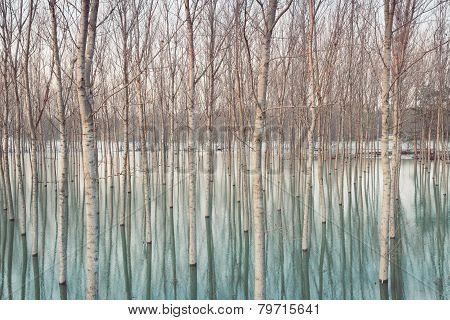Natural pattern : birches In Flooded Countryside