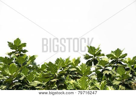 Breadfruit Leaf
