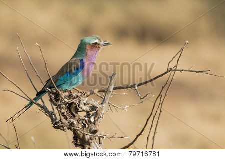 Colorful little bird ( lilac breasted roller ) sitting on a branch