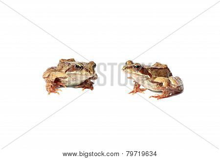 Two Brown Frogs Isolated