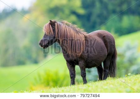 Shetland pony standing on green hill and looking forward.
