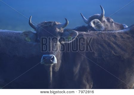 Cows In Misty Twilight