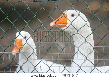 Two Geese In Cage