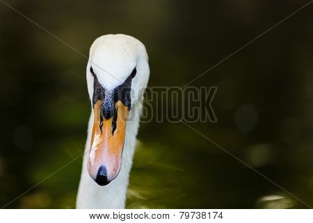 Adult White Swan Portrait