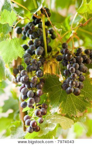 Uvas de uma videira