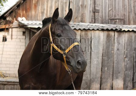 Beautiful Black Horse Portrait At The Stable