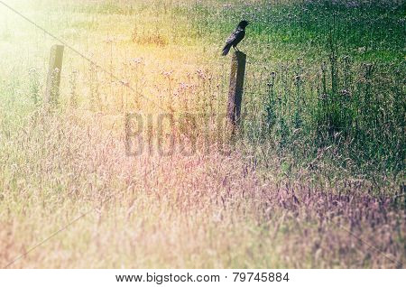 Grass Field With Raven Sitting On An Old Wooden Fence
