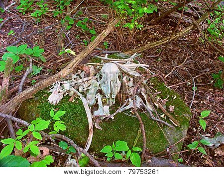 Deer Bones Wisconsin Forest