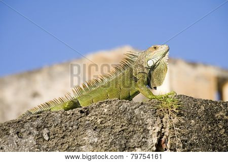 Green Iguana From Puerto Rico
