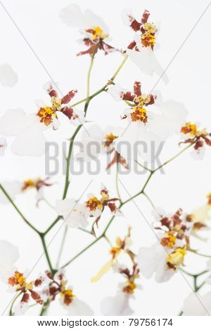 White Oncidium Dancing Lady Orchids