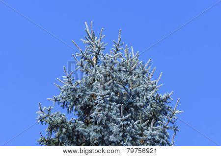 Silver Fir Tree On A Sunny Day