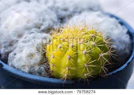Domestic Cactus Close up With White Cactus