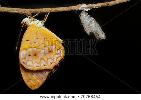 Female Common Leopard Butterfly Emerged From Cocoon