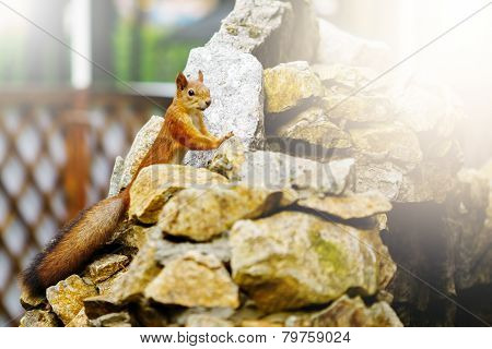 Curious Red Squirrel On Stones
