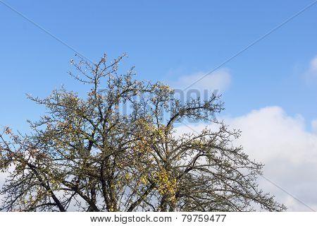Crown Of Dead Tree In Autumn