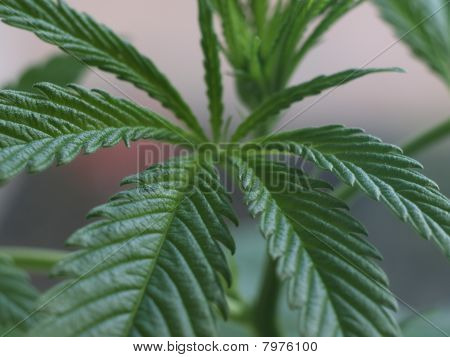 Leaves Of Marijuana