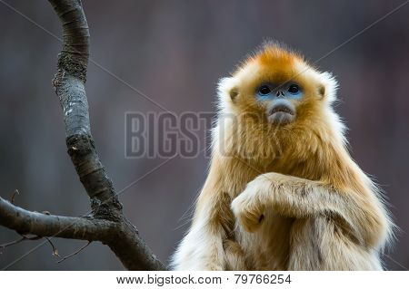 A lonely Golden Monkey