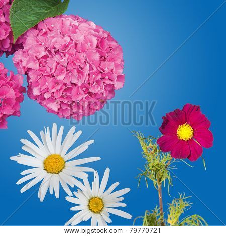 Hydrangea, Daisies and a Magenta Anemone Coronaria Isolated
