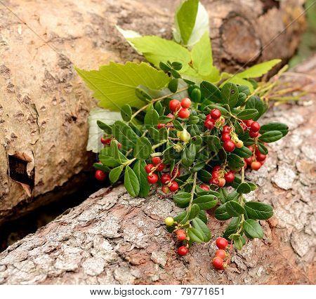 Red ripe wild lingonberries