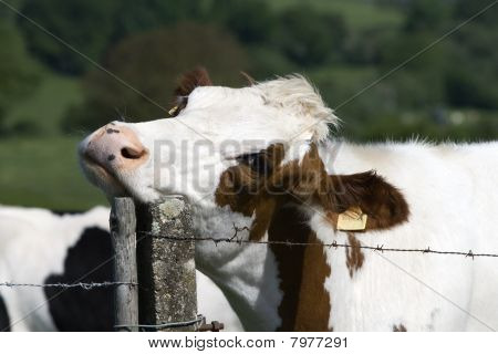 Cow scratching neck