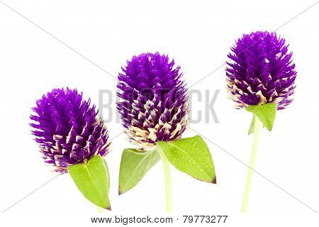 Purple Globe amaranth flower