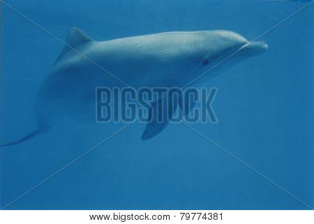 Blue Dolphin