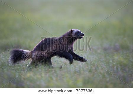Wild Wolverine