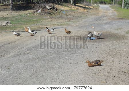 Grey domestic geese in the poultry yard