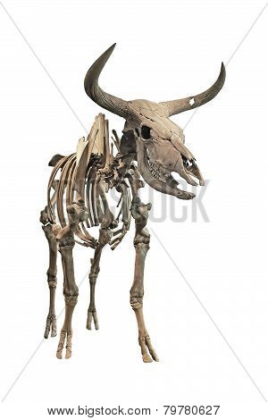 Aurochs Skeleton (bos Primigenius)