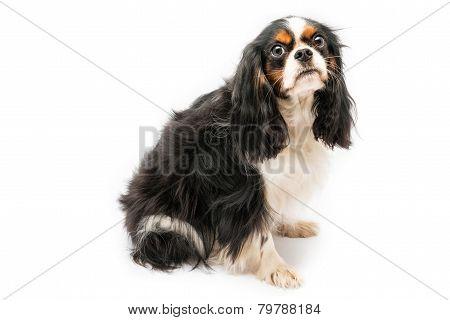 Cavalier king spaniel dog