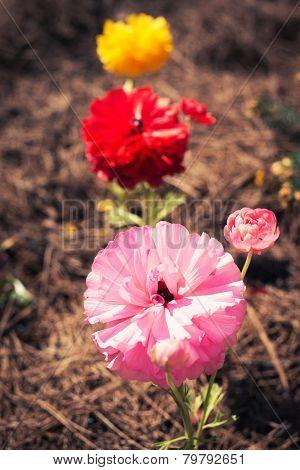 Buttercup Flowers (ranunculus)