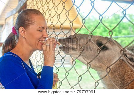 Young attractive woman feeding lama