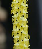 stock photo of epiphyte  - Large Dendrochilum Orchid - Dendrochilum magnum