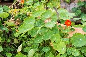 pic of nasturtium  - closeup plant green nasturtium in the garden - JPG
