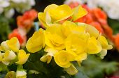 pic of begonias  - Close up of yellow begonia blossom in botanic garden - JPG