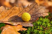 stock photo of deformed  - Yellow oak gall ball - JPG