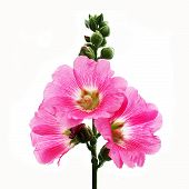 pic of hollyhock  - the hollyhock flower isolated on white background - JPG