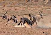 picture of antelope horn  - Male Gemsbok Antelope fighting in the Kgalagadi Transfrontier Park Southern Africa. ** Note: Shallow depth of field - JPG