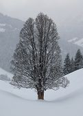 pic of maple tree  - Beautiful old maple tree in winter - JPG