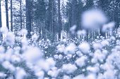 pic of laplander  - Blooming white flowers of Cottongrass in Lapland pine forest - JPG