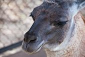 pic of lamas  - Lama animal close up portrait - JPG