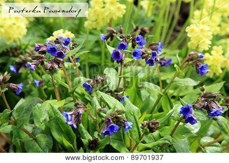 Yellow Primula Vulgaris and blue Lungwort,