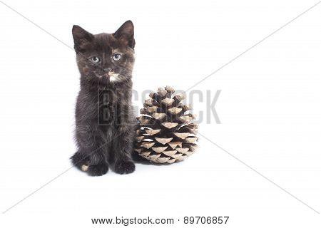 Kitten With Pine