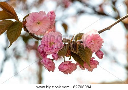 Flowers Of Japanese Sakura Blossomed